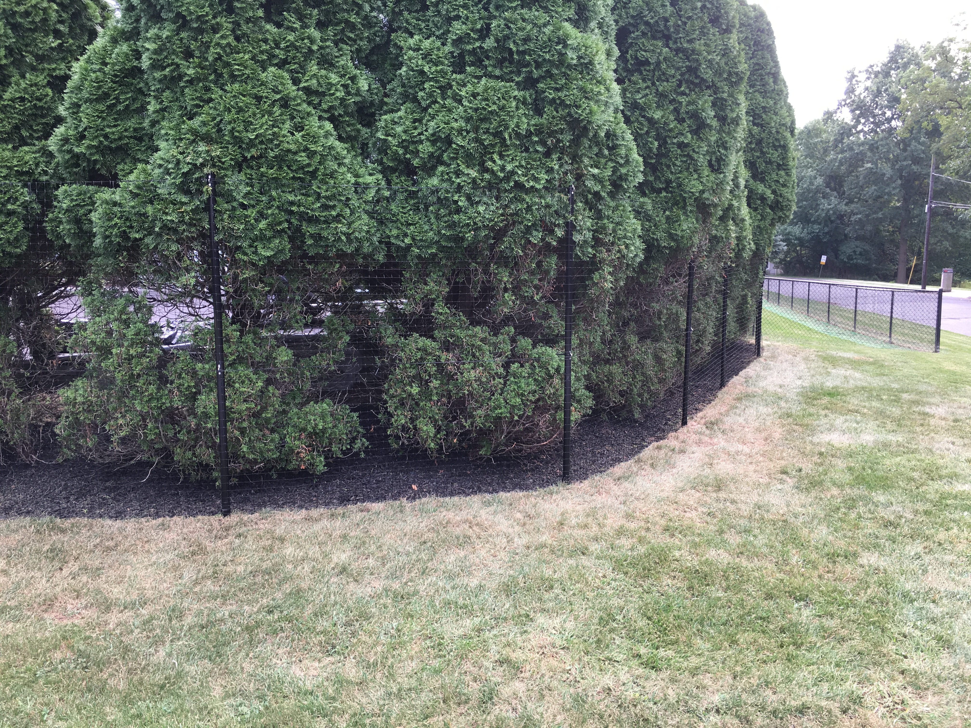 Arborvitae Protection deer fence
